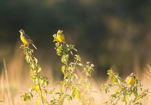 zimbabwe yellowthroatedlongclaw macronyxcroceus jeremysmith longclaw kylenationalpark jeremysmithphotographycouk jeremysmithphotographycom jeremysmith007 jnsmithphotos