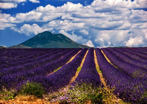 france lavender provence lavande 2014 valensole