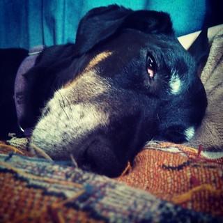 Monday already? #IHateMondays #dogstagram #dobermanmix #sleepy #rescued #dobiemix #seniordog #adoptdontshop