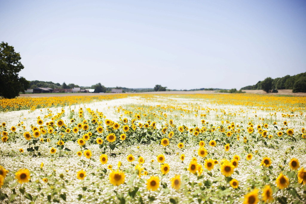 Sunflowers in the Loire Valley