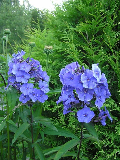 Phlox paniculata 'Blue Paradise'