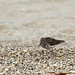 Purple Sandpiper (Bret Charman)