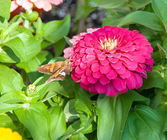 982 Zinnia and Moth