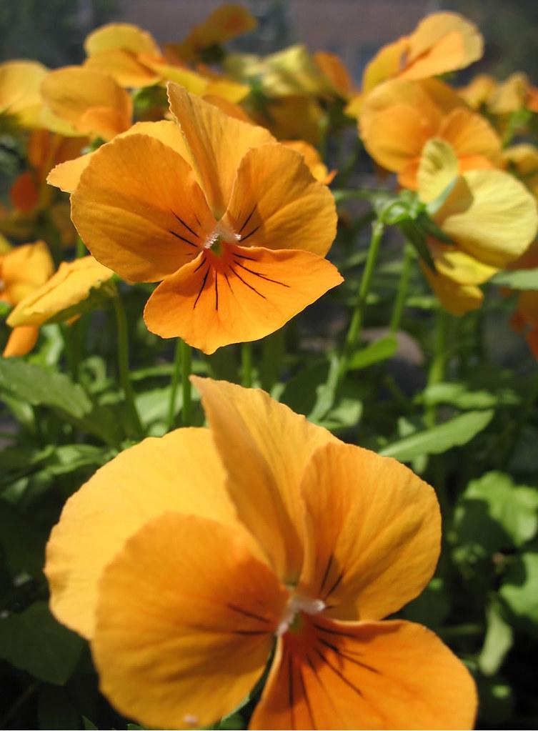 fialka_orange_gigant