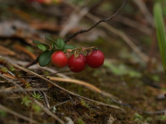 berry, branch, leaf, soil, plant, nature, macro photography, flora, fruit, close-up, lingonberry,