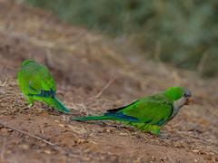 Monk parakeet-2