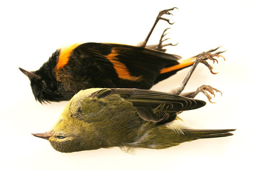 American Redstart and Tennessee Warbler