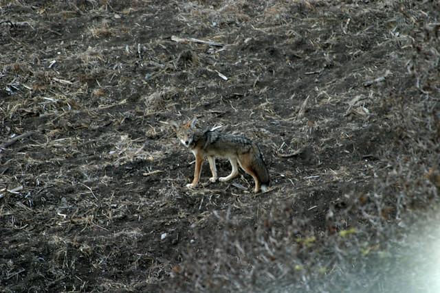 hello, coyote