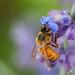 Honey Bee on Russian Sage by J-Bones