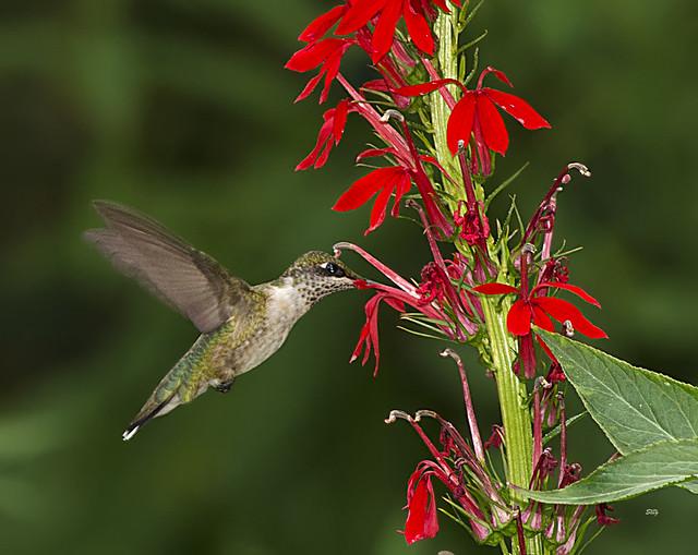Lobelia Cardinalis Hummingbird