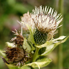 thistle(0.0), plant(0.0), produce(0.0), flower(1.0), thorns, spines, and prickles(1.0), macro photography(1.0), flora(1.0), silybum(1.0), artichoke thistle(1.0), close-up(1.0), plant stem(1.0),
