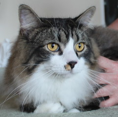 domestic long-haired cat, animal, small to medium-sized cats, pet, european shorthair, american shorthair, cat, carnivoran, whiskers, norwegian forest cat, manx, domestic short-haired cat,