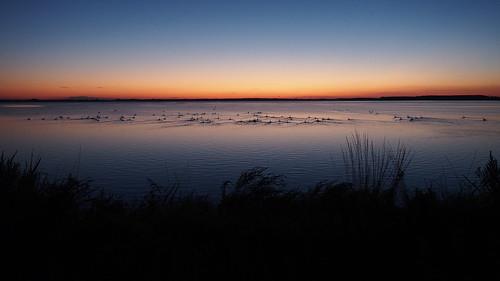 birds denmark september swans danmark svaner 2014 fugle guldborgsund sensommer lollandfalster