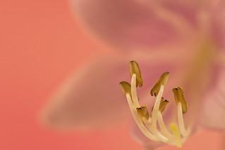 Hosta Blossom Stamen Macro