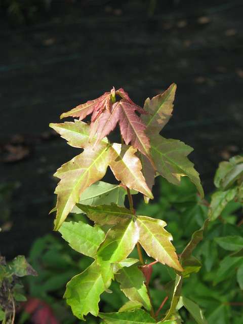 Header of Acer buergerianum