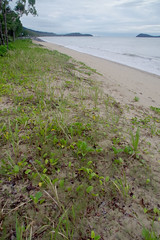 Imperata cylindrica, Cynodon dactylon and Ipomoea pescaprae, Clifton Beach, Cairns, QLD, 16/06/14