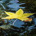 yellow leaf floating by hey-wait-up