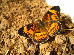 Pearl Crescent - Phyciodes tharos #2