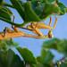 Mantis amigable :)