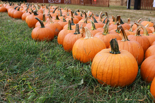 pumpkins, pumpkin patch, pumpkin picking, sugar pumpkins, small pumpkins