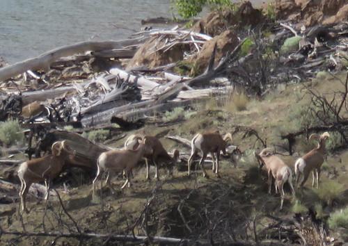 Bighorn Sheep2 20150616