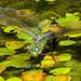 Emperor Dragonfly,female,Freshwater,IOW. by MARMARI Dragonflies