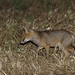Raposa, Red Fox(Vulpes vulpes) by xanirish