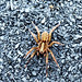 Small photo of Lycosidae - wolf spider