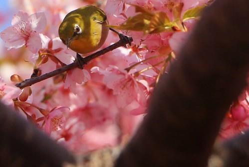 春が来た!  愛知県の渥美間半島では河津桜や菜の花が満開。 桜の花の蜜を吸いにメジロやヒヨドリなどの野鳥を見ることもできます。  一足早い春を渥美半島で満喫してきました。  #カメラ #canon #春 #渥美半島 #愛知 #サクラ #メジロ
