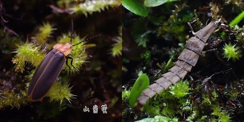 山窗螢的成蟲及幼蟲。(圖片攝影:李鍾旻)