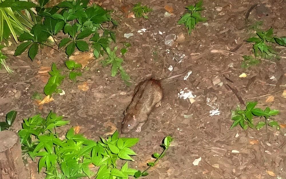 Rats Under Control?