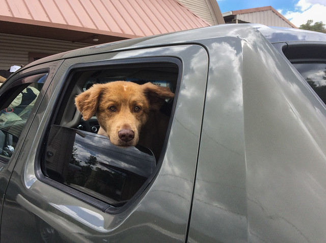 Teddy Bear Dog in a Car