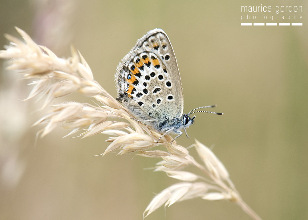 silver-studded-blue-1266