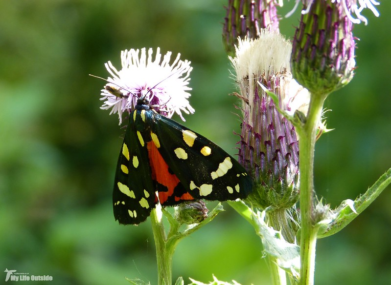 P1080175 - Scarlet Tiger, Cotswold Water Park