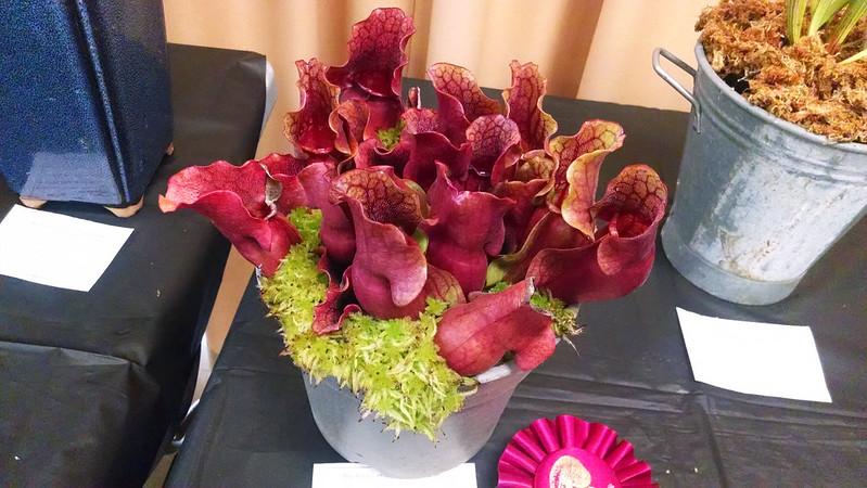 Sarracenia purpurea, Dana Gardner