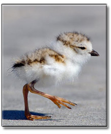 piping_plover_baby