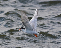 Forster's Tern with fish at Alameda Point