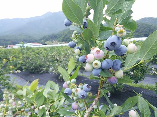 블루베리 | 힐링블루베리농원