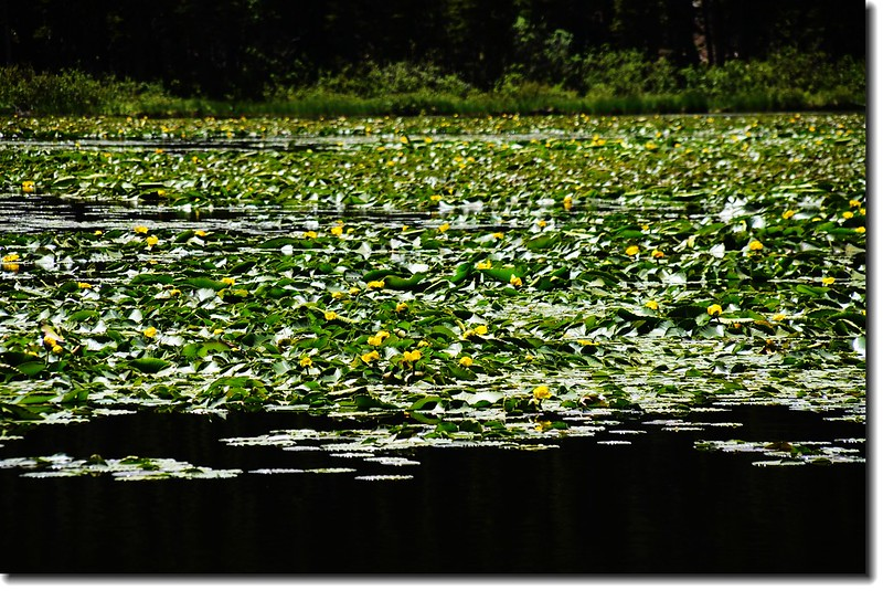 Yellow Pond Lily 9