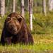 Male Brown Bear by Aidan Finn