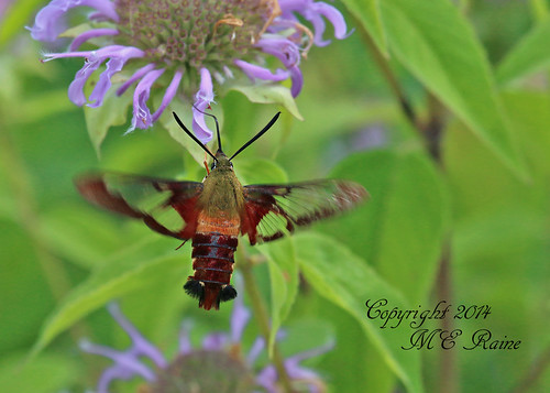 """new flowers nature landscape hummingbird purple native wildlife moth insects bugs wildflowers grassland preserve jersey"""" """" moth"""" preserve"""" township"""" """"clearwing """"franklin """"negrinepote"""