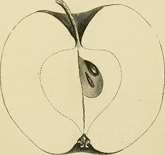 "Image from page 508 of ""American pomology. Apples"" (1867)"