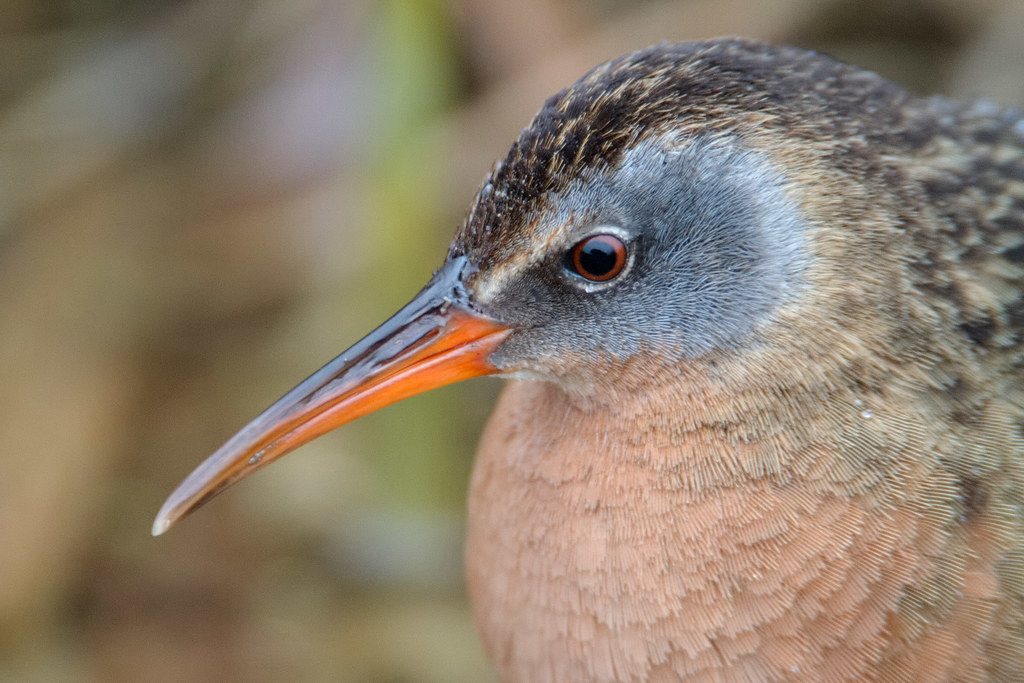 A close-up view of a Virginia rail
