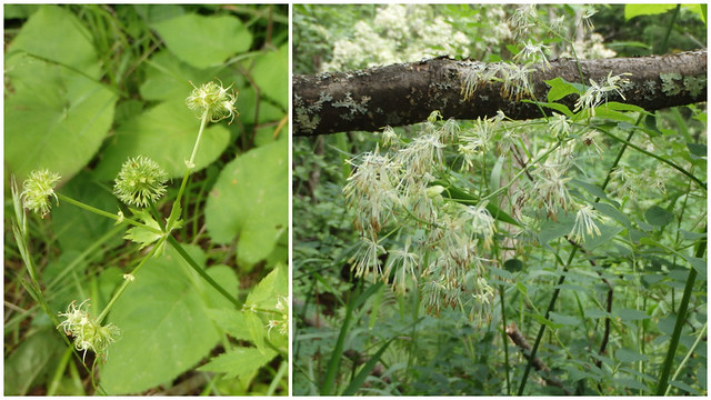 black snakeroot and meadow rue