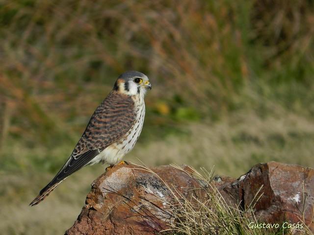 Halconcito Común (Falco sparverius)