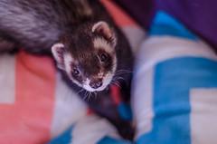animal, weasel, mustelidae, mammal, polecat, whiskers, ferret,
