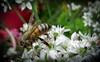 Honey bee on garlic chive