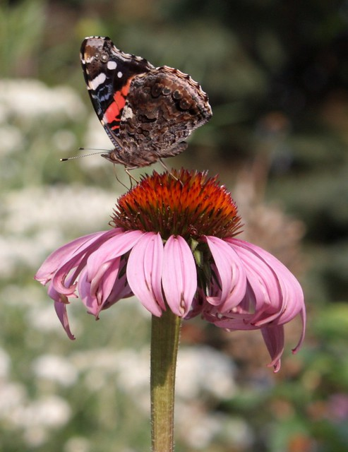 red admiral butterfly on top of a flower