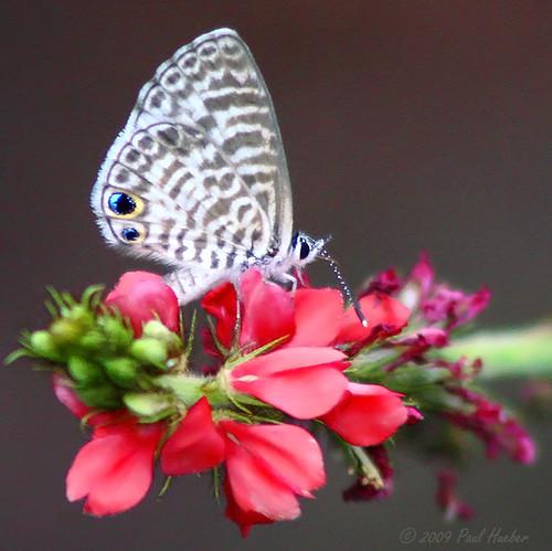 autumn usa flower nature animal america canon butterfly insect outside orlando unitedstates florida wildlife lepidoptera handheld 75300 seminolecounty altamontesprings cassiusblue leptotescassius indigofera