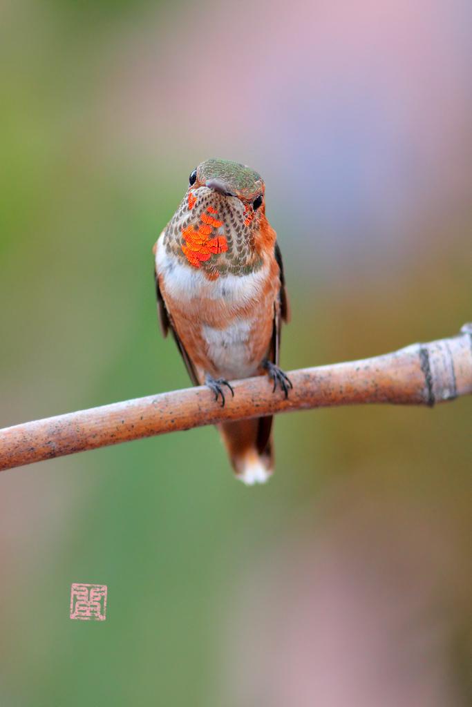 immature-Allen's-Hummingbird-0925